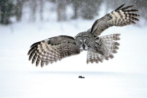 SPP Silver Medal - Bob Devine (United Kingdom) <br /> Great Grey Owl Hunting In Snow