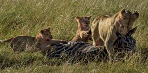 SPP HM Ribbons - Corinne Kozok (England) <br /> Lion Cubs Help Mum Move Kill